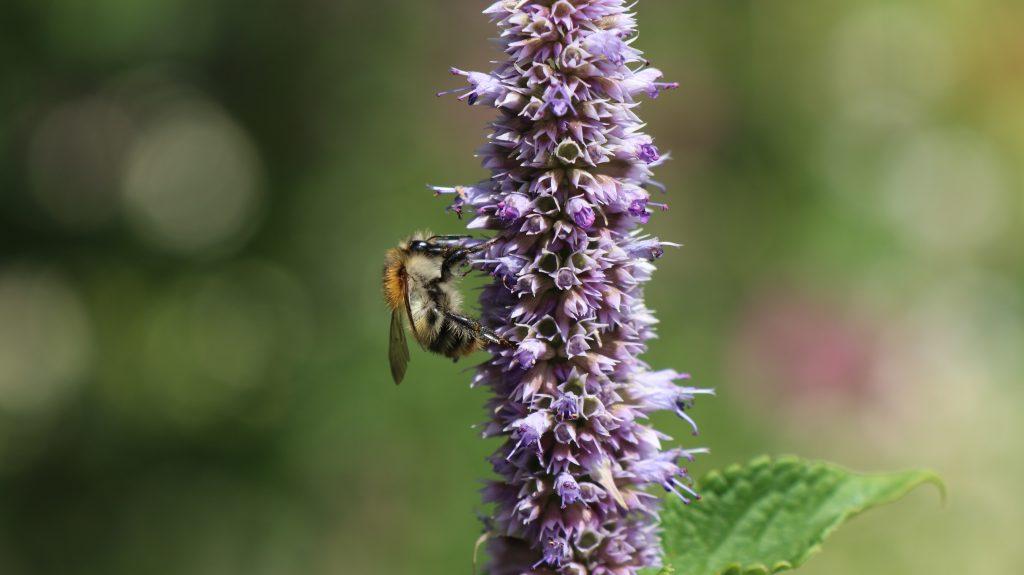 Schottergarten nicht pflegeleicht und auch nicht gut für Artenvielfalt. Bild: Duftnessel mit Biene
