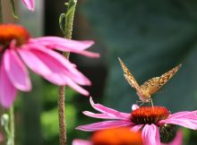Pflegeleichter Vorgarten im Alter: Warum wir keinen Schottergarten anlegen sollten. Bild: Echinacea mit Kaisermantel.