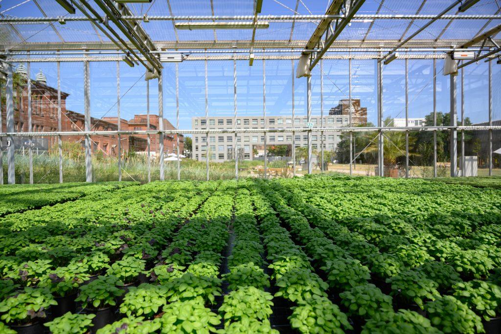 ECF Farm in Berlin baut für eine Supermarktkette in ihrer Urban Farm jährlich 400.000 Töpfe Basilikum an